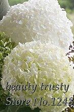 20 + PCS Seed Rarest Weiß Blut-Rosen-Pflanze Blumensamen Blumengarten Asaka Rare True Blood Rose Samen