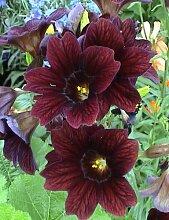 20 Samen der salpiglossis ROYALE Schokoladenblume
