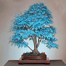 20Stück blau Japanischer Ahorn Baum Bonsai