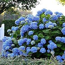 20 Stück Hortensien Samen Blaue Hortensien