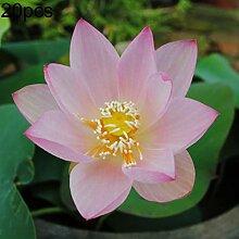 20 Stück Schüssel Lotus Samen Bonsai Pflanze