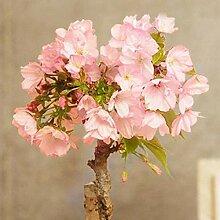 20 Stück Seltene Sakura Sakura Samen Samen
