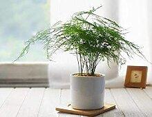 20 Stück Spargel Farnsamen Kleine Bambus Bonsai