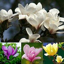 20 Stück Untertasse Blumenbaum Samen Mischfarbe
