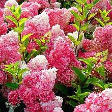 20 Vanilla Strawberry Hortensie Blumensamen als