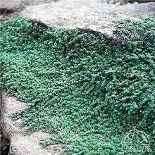 200 Creeping Thyme Samen Blumensamen ROCK CRESS Bodendecker Samen Teppich Immergrüne Pflanze leicht anzubauen für Garten Rasen 7