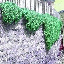 200 Creeping Thyme Samen Blumensamen ROCK CRESS Bodendecker Samen Teppich Immergrüne Pflanze leicht anzubauen für Garten Rasen 2