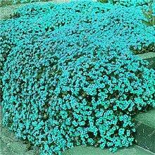 200 Creeping Thyme Samen Blumensamen ROCK CRESS Bodendecker Samen Teppich Immergrüne Pflanze leicht anzubauen für Garten Rasen 5