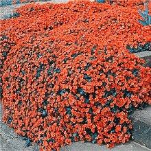 200 Creeping Thyme Samen Blumensamen ROCK CRESS Bodendecker Samen Teppich Immergrüne Pflanze leicht anzubauen für Garten Rasen 1