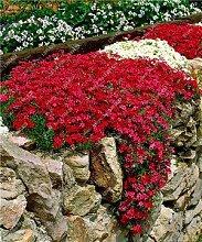 200 Creeping Thyme Samen Blumensamen ROCK CRESS Bodendecker Samen Teppich Immergrüne Pflanze leicht anzubauen für Garten Rasen 8
