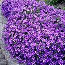 200 Creeping Thyme Samen Blumensamen ROCK CRESS Bodendecker Samen Teppich Immergrüne Pflanze leicht anzubauen für Garten Rasen