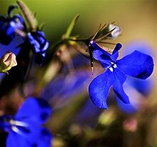 200 Electric Blue Lobelia Monsoon Blumensamen +