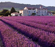200 Französisch Provence Lavendel sät stark duftend Bio Lavendel Samen Pflanze Hausgarten Bonsai auch in Bonsai wachsen kann