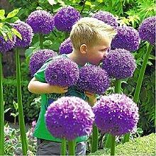 200 Giant Allium Globemaster Allium Giganteum