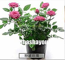 . 200 PC/Beutel Rose Pflanze So Charming Rose