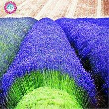 200 PCS französisch Provence Lavendel Samen sehr aromatisch organischen Lavendel Samen Parfüm Pflanze Blume Blumensamen-Hausgarten Bonsai 1