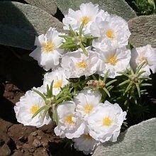 200 Samen Portulaca Moos Rose Weiß Bodendecker