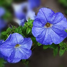 200 Stück 9 Farbe Petunia Samen Hybrida Bonsai Pflanze Hausgarten Balkon Petunia Blumensamen