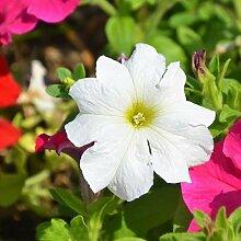 200 Stück 9 Farbe Petunia Samen Hybrida Bonsai
