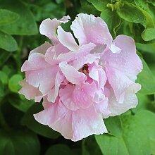 200 Stück Bonsai Balkon Petunie Hybrida Bonsai Pflanze Petunia Blumensamen