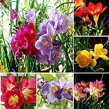 200 Stück Freesia Seeds Parfüm Blume Staude