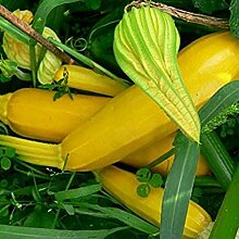 200 Stück Gelbe Zucchinisamen Ernährung