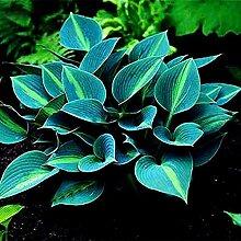 200 Stück Gemischte Farbe Hosta Plantaginea Samen