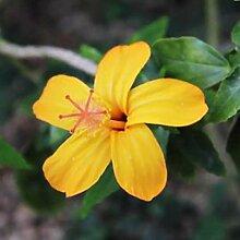 200 Stück Hibiskus-Blumensamen Einfache Pflanze