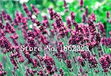 200 Stück Lavendel Bonsai Kraut plantd Garten