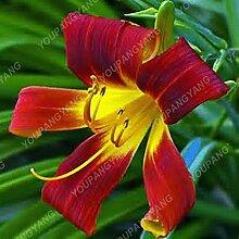 200 Stück Lily Samen in Bonsai Zimmerpflanzen Blumen Riesen Lilien-Samen Schöner Garten Blumen Sementes für Männer * Kinder-Geschenk-Betriebs Dunkel Khaki