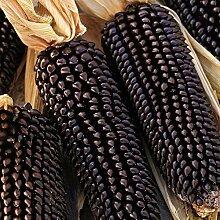 200 Stück Maissamen Nahrhafte Gemüsepflanze