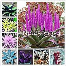 . 200 Stück Mulit-Farbe Aloe Vera Seltene