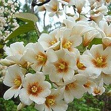 200 Stück Paulownia Samen einfach zu pflanzen