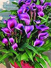200 Stück Regenbogen Calla-Lilien-Bonsai Blume