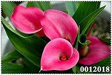200 Stück Regenbogen Calla-Lilien-Pflanzen Blume