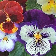 200 Stück Schöne Stiefmütterchen Pflanze Mix