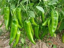 200 Stück, Welten Hottest Pepper Samen, 8 Weltheißeste Pfeffer, Rare Chili Pepper Samen plus Mysterious Geschenk 2