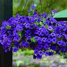 200 Stücke Natürliche Blaue Petunie Samen Hof