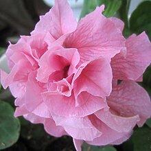 200 Stücke Rosa Petunia Blütenblätter Samen