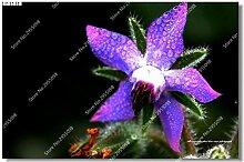 200pcs / bag Exotische Regenbogen Borretschsamen im Freien Herb Charming Erbstück Vanilla Gemüse Bonsai Garten Ziergarten Pflanze