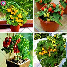 200pcs Bonsai Yellow Tomato Samen New Intdoor