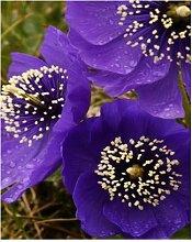 200PCS klassische lila Blütenblätter d Mohn vergossen Bonsai-Garten Hof