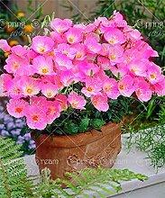 200pcs Nachtkerzensamen Bonsai Samen Zierpflanze