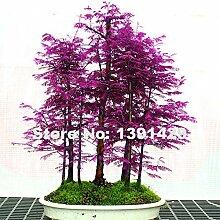 200pcs Rare Lila Chinesisches Rotholz Bonsai-Baum