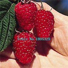 200PCS reines Rot Rubus Himbeeren Samen Antioxidant Samen Bush Früchte Samen Pflanze Freies Verschiffen