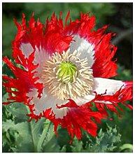 200PCS Schöne rote und weiße Blütenblätter gemischt Mohn vergossen Bonsai-Garten Hof