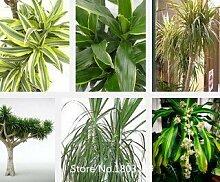 2015 Dracaena Samen 100pcs Multi Farben Gartenbaum