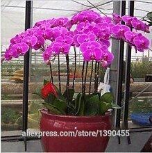 2015 New.Hot Sale! Bonsai Balkonblume Schmetterlingsorchidee Samen Phalaenopsisorchideen -100 PC Samen Schöner Garten