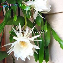 2016 50 Chinese seltenes Epiphyllum oxypetalum Samen Night Blooming Cereus Bonsai Flower Garden Dekoration Pflanze As Show in Description As Show in Image