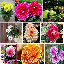 2016 Hot Art ordinally Yukako Dahlien Samen Zwiebeln Blumensamen Bonsai - 100 Stück Samen